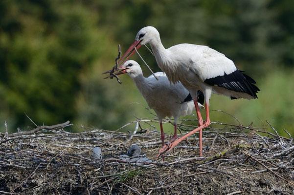 Weißstorch-Paar verbaut gemeinsam einen Stock im Nest