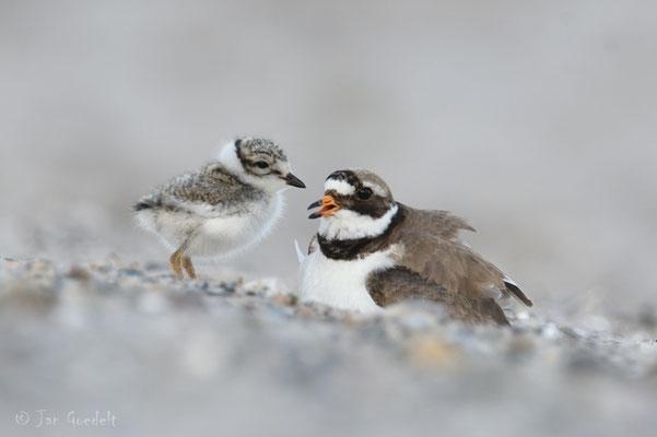 Sandregenpfeifer ruft seinen Jungvogel