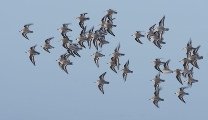Sanderlinge fliegen vorbei - leicht verwischt mit längerer Belichtungszeit