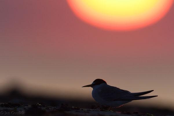 Zwergseeschwalbe vor aufgehender Sonne