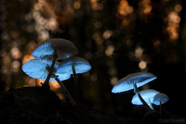 Buchenschleimrüblinge leuchten