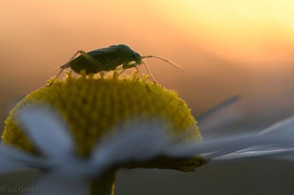 Zikade auf einer Margerite bei Sonnenaufgang