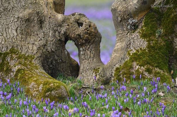 Krokusse und Baum