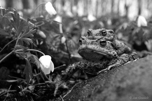 Erdkröten-Paar auf der Wanderung durch den Wald zum Laichgewässer in schwarz-weiss