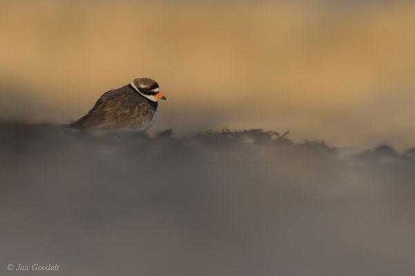 Sandregenpfeifer-Männchen im frühen Morgenlicht
