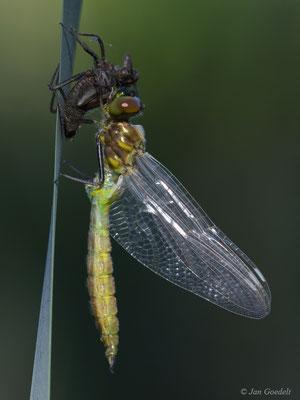 Schlüpfende Gefleckte Smaragdlibelle