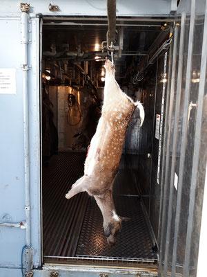 Sie können Ihr Wild jederzeit bringen, versorgen, wiegen und zur Verarbeitung in den Kühlcontaner hängen.