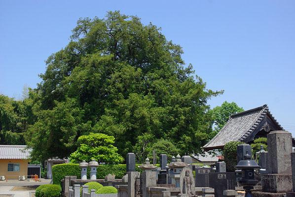 医王山興生寺のカヤの木:壬生町