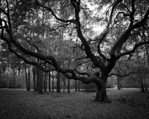 Dry Season Oak