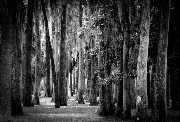 John Chestnut Cypress