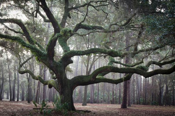 Wet Season Oak