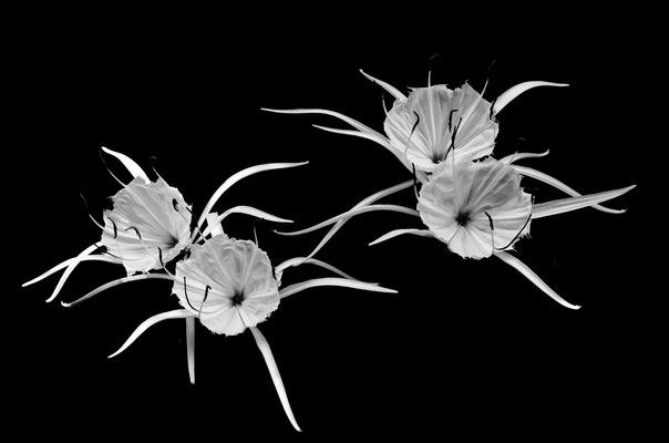 Spider Lily 1