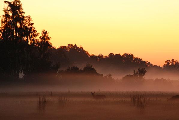 Doe in Mist Sunrise 1