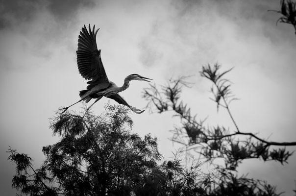Great Blue Heron Returning to Nest