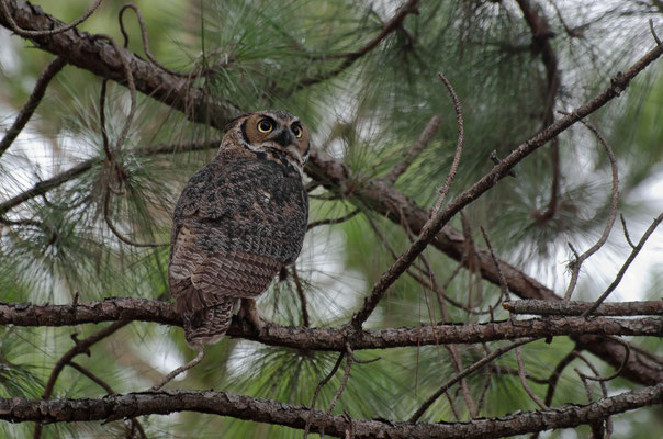 Young Female Great Horned Owl