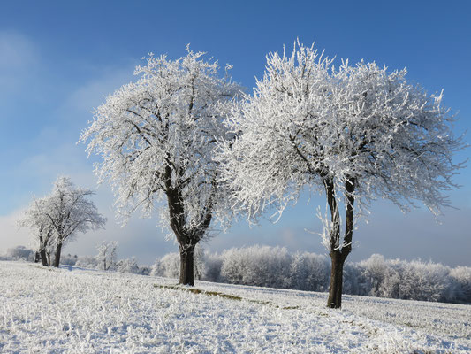 Hoarfrost covering on Apple trees.