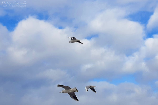 Seagulls on the Wing at Lake Constance, Germany/Austria