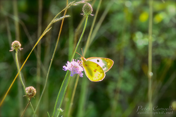 Clouded Yellow, Donau Auen