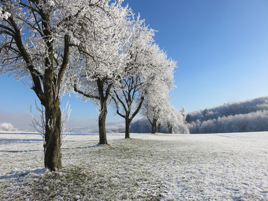 Hoarfrost covering on apple trees in Möstviertel.