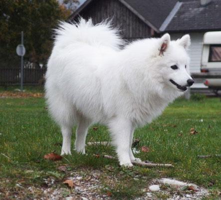 Unser weißer Wolf.