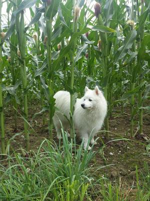 Aiko im Maisfeld...schon mal probiert? Maisfelder sind sooo spannend!