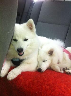 Japanspitzmama Hana mit Töchterlein Aiko