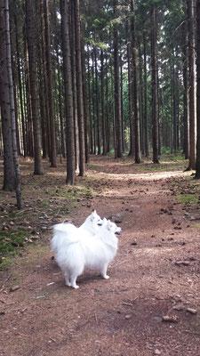 Japanspitze im vogtländischen Hochwald