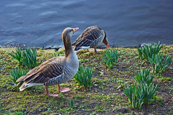 Graugänse auf Nest-Standortsuche zwischen den Osterglocken