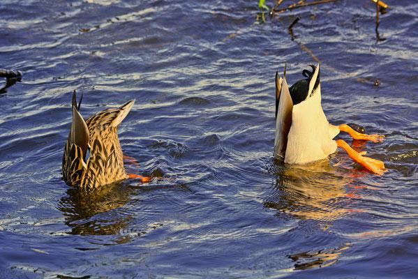 Tauchende Enten in der Außenalster