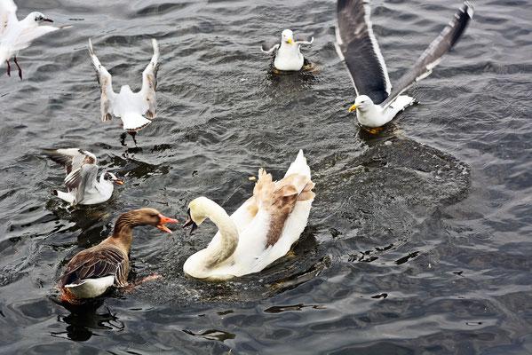 Vogelbetrieb auf der Alster
