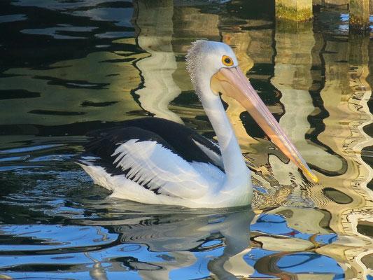 Der Brillenpelikan gehört zu der Familie der Pelikane (Pelecanidae). Sein Lebensraum ist Australasien.