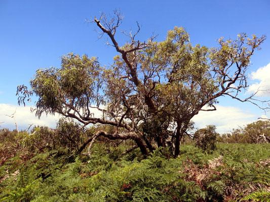 Auch so sieht der Lebensraum aus, hättet ihr den Koala gesehen?