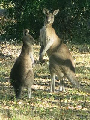 Kängurus zählen zu den bekanntesten Beuteltieren.