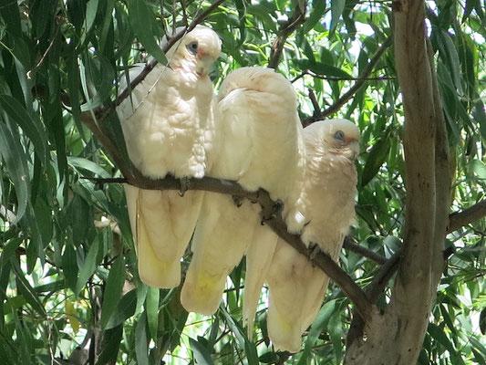 Der Gelbhaubenkakadu (Cacatua galerita) ist ein Papagei aus der Familie der Kakadus.
