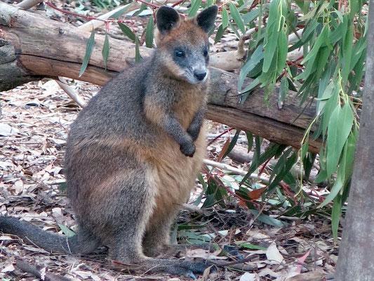 Als Wallabys werden mehrere kleine Arten aus der Familie der Kängurus (Macropodidae) bezeichnet.