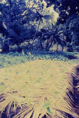 2/12/1990: 24: Rarotonga, taro plantation