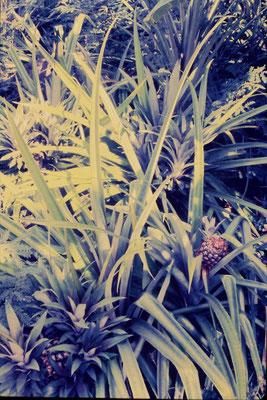 6/12/1990: Tahiti, pineapple