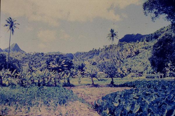 2/12/1990: 26: Rarotonga, taro plantation