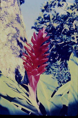 2/12/1990: 28: Rarotonga, taro plantation