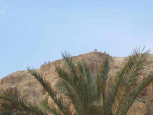 Camels above Qumran
