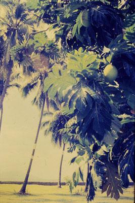 6/12/1990: Tahiti, above museum, Breadfruit tree