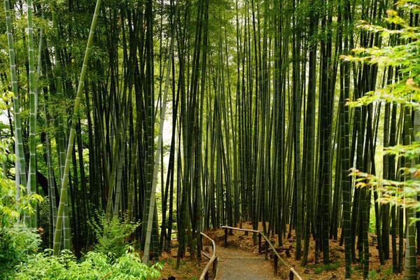 Bambus Bäume Kyoto