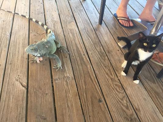 Katze versus Leguan - ich nehm beide
