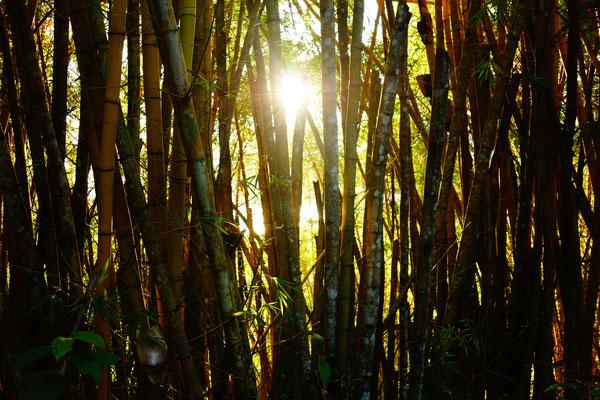 Sonne küsst Bambus
