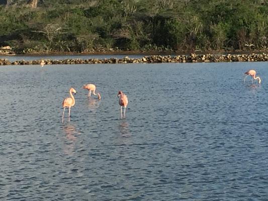 Flamingos in Curaçao
