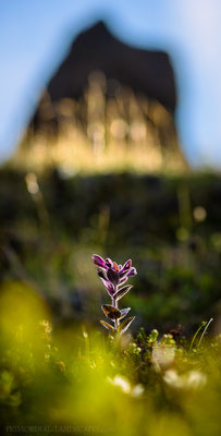 "Smjörgras (Bartsia alpina) with one of the eroded Seljahjallagil ""towers"" in the background"