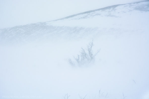 """The weather was still dreadful but we looked forward to a warm hut and fresh food in the evening. We saw the first """"bigger"""" plants appearing through the blowing snow with these wind battled scrubs."""