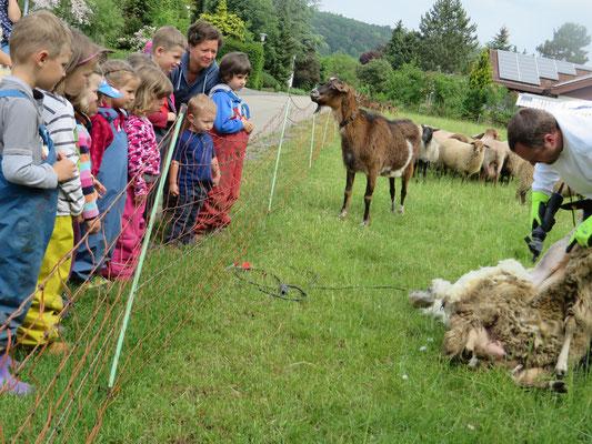 Als Gast bei der Schafschur