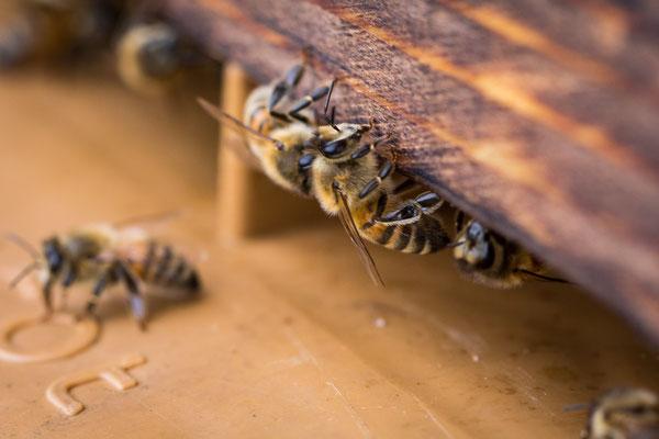 Abeilles pour production de miel