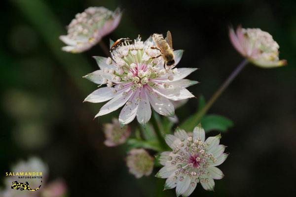 Grosse Sterndolde-Blütenpflanze des Jahres